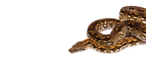 Port Credit Pets Snakes Boa Constrictors