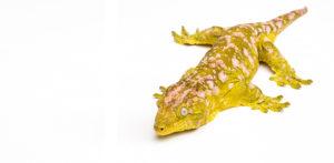 Port Credit Pets Lizards & Geckos