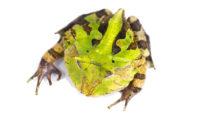 "Suriname Horn Frog ""Green"""