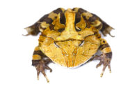 "Suriname Horn Frog ""Brown"""