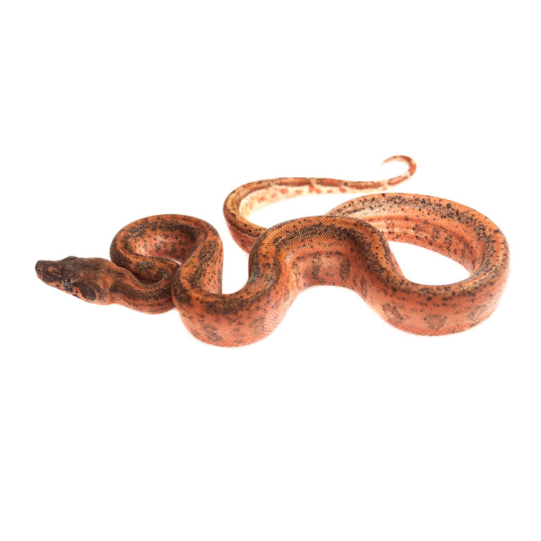 Snakes | National Reptile Supply - Part 3