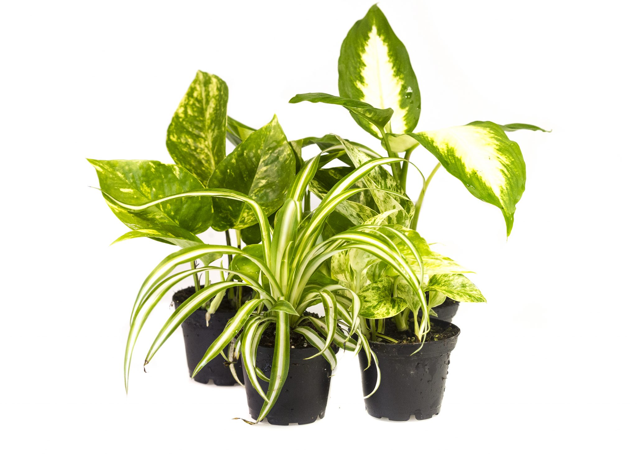 PLANT  ASSORTED FOLIAGE 2.5″