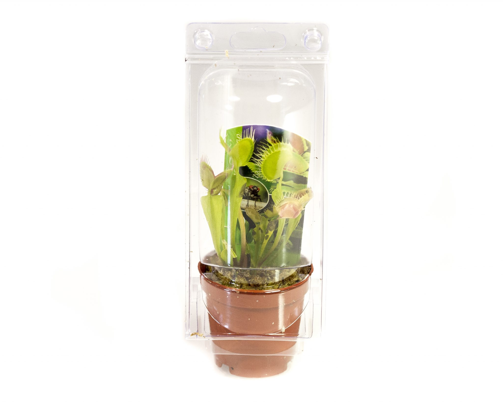 PLANT VENUS FLY TRAP