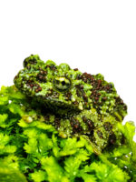 FROG MOSSY TREE