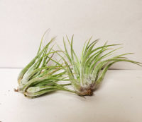 PLANT AIR ASSORTED SMALL SIZE – TILLANDSIA