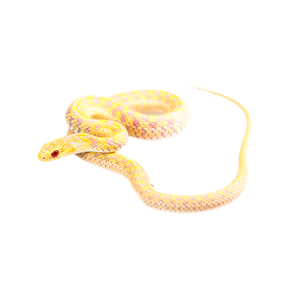 Albino Checkered Garter