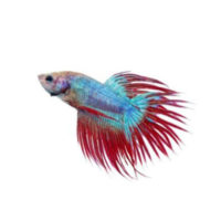 FISH CROWNTAIL BETTA
