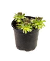 PLANT HENS & CHICKS