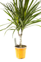 PLANT DRACAENA MARGINATA AIR LAYERED