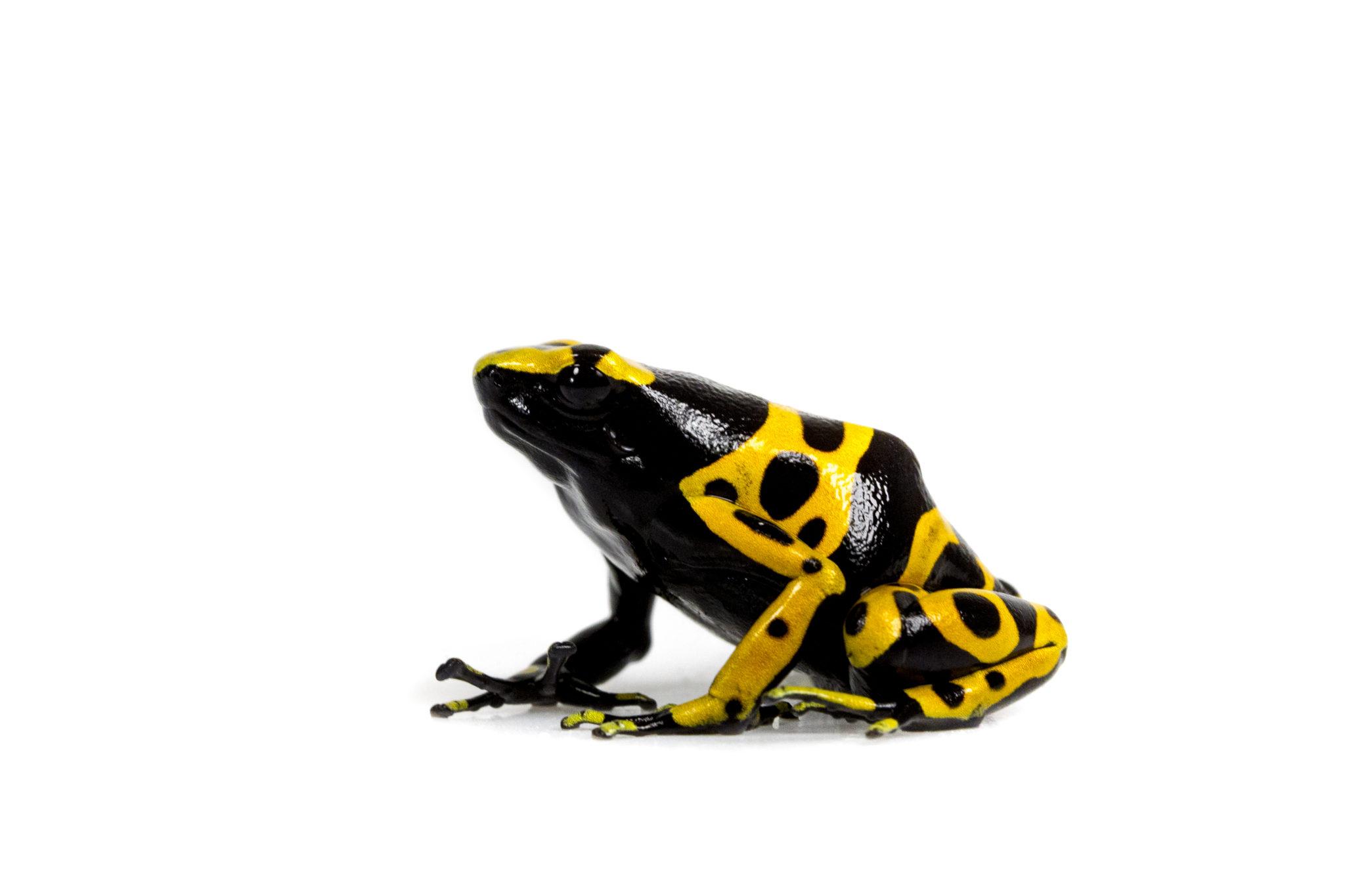 """Bumblebee Dart Frog """"D. leucomelas"""""""