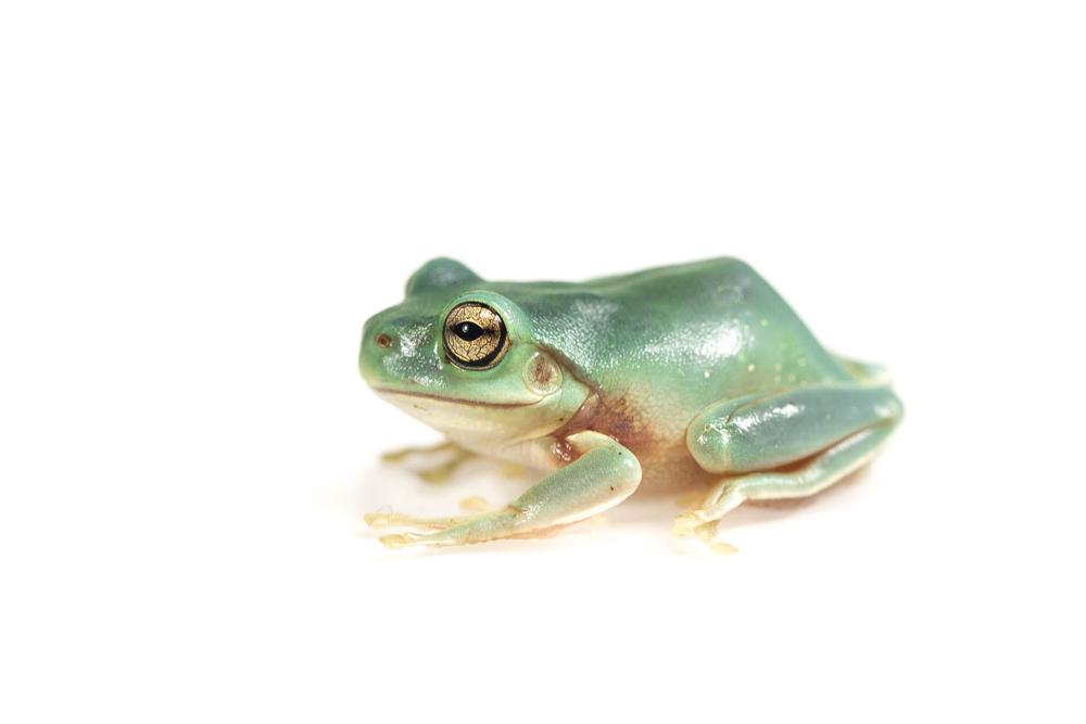 "Whites Tree Frog ""Blue"""