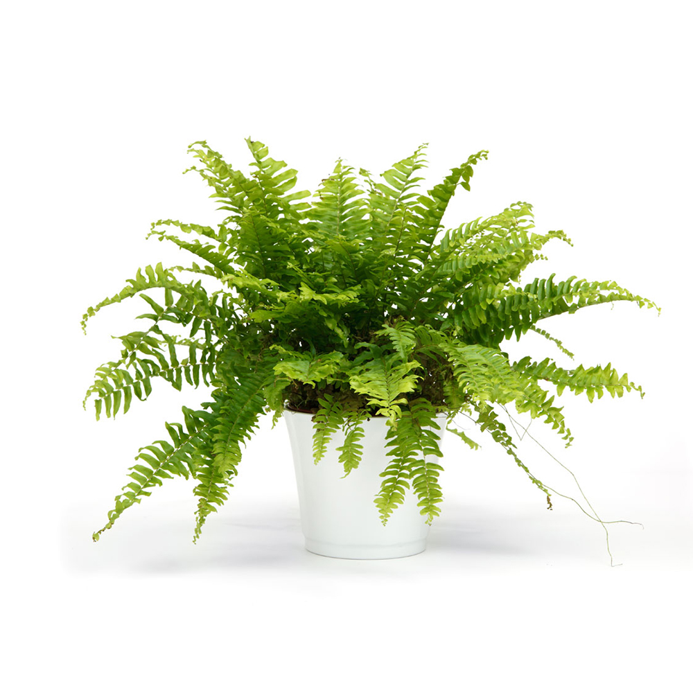PLANT BOSTON FERN HANGING BASKET 6.5″