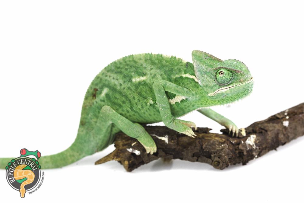 Veiled Chameleon  – Sub adult female