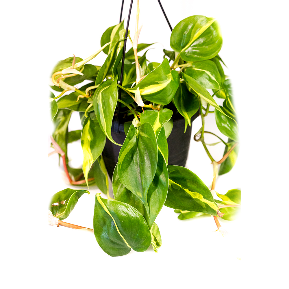 PLANT TROPICAL HANGING BASKET 6.5″