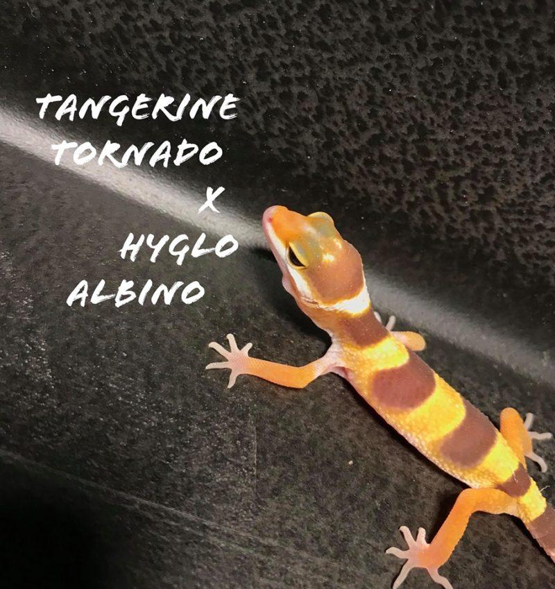 Tangerine Tornado Leopard Gecko - The Cover Letter For Teacher