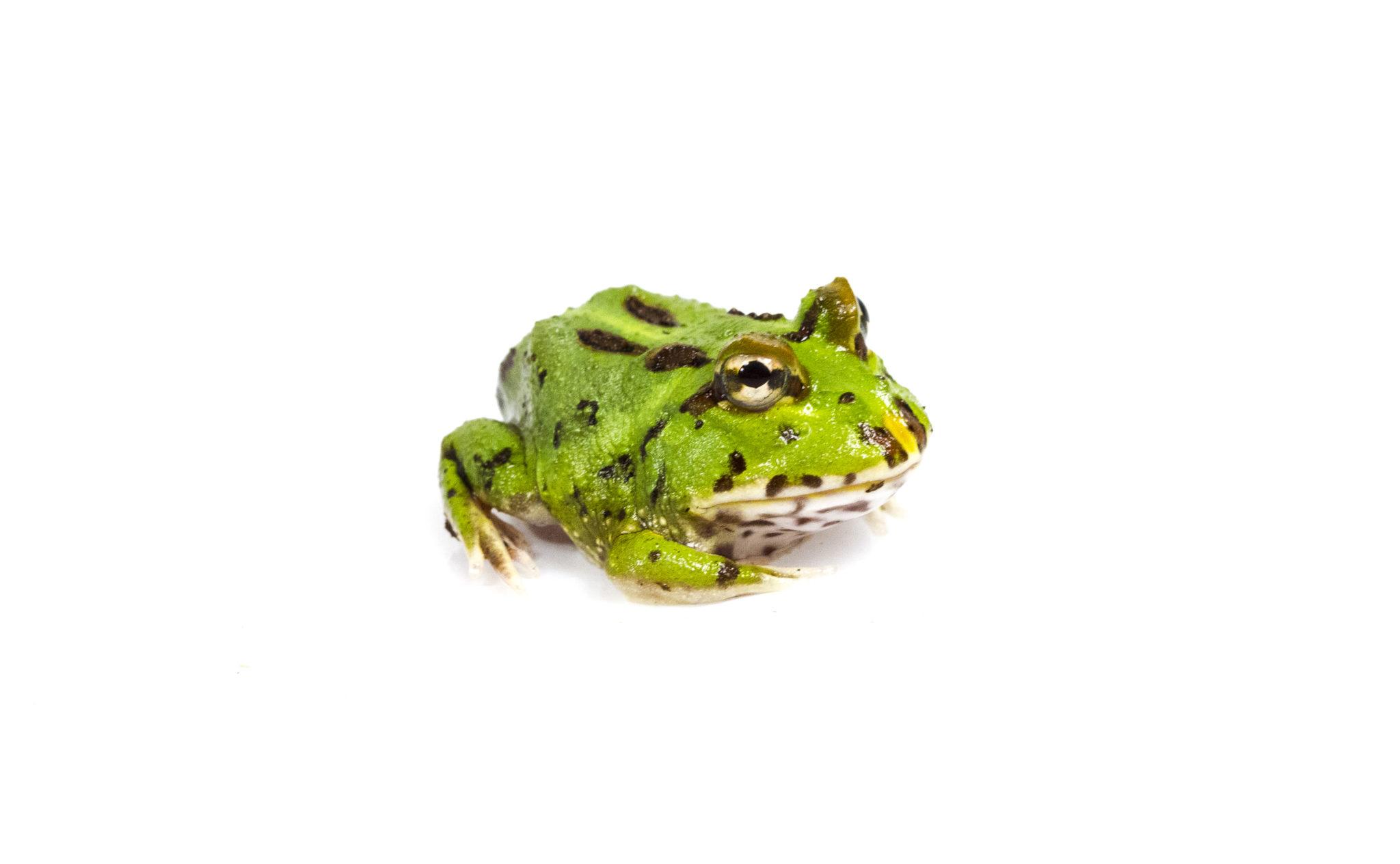 Green Pacman Frog