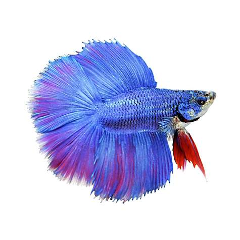 FISH HALF MOON BETTA