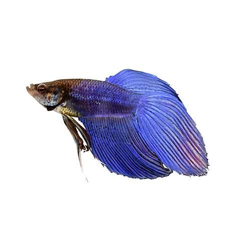 FISH FANCY BETTA