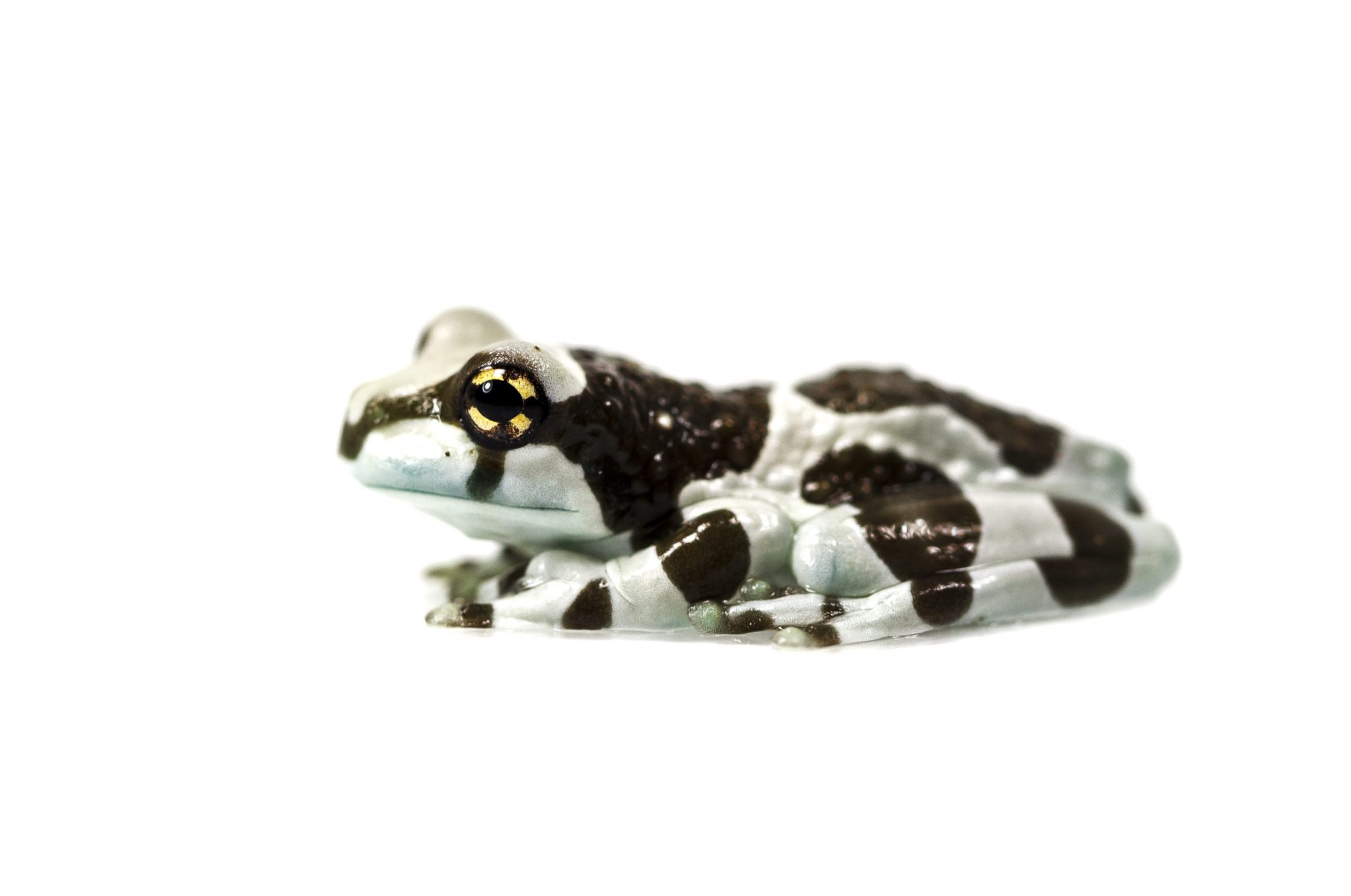 Amazon Milky Frog