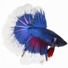 FISH MALE BETTA