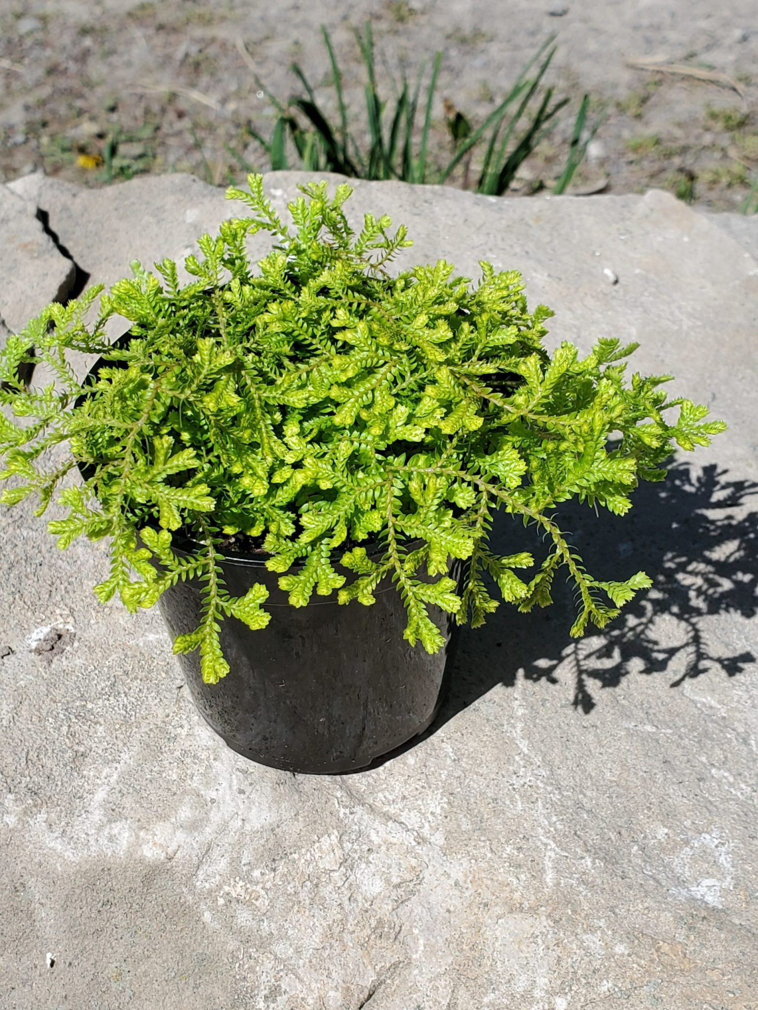 PLANT GOLDEN CLUB MOSS 3.5″