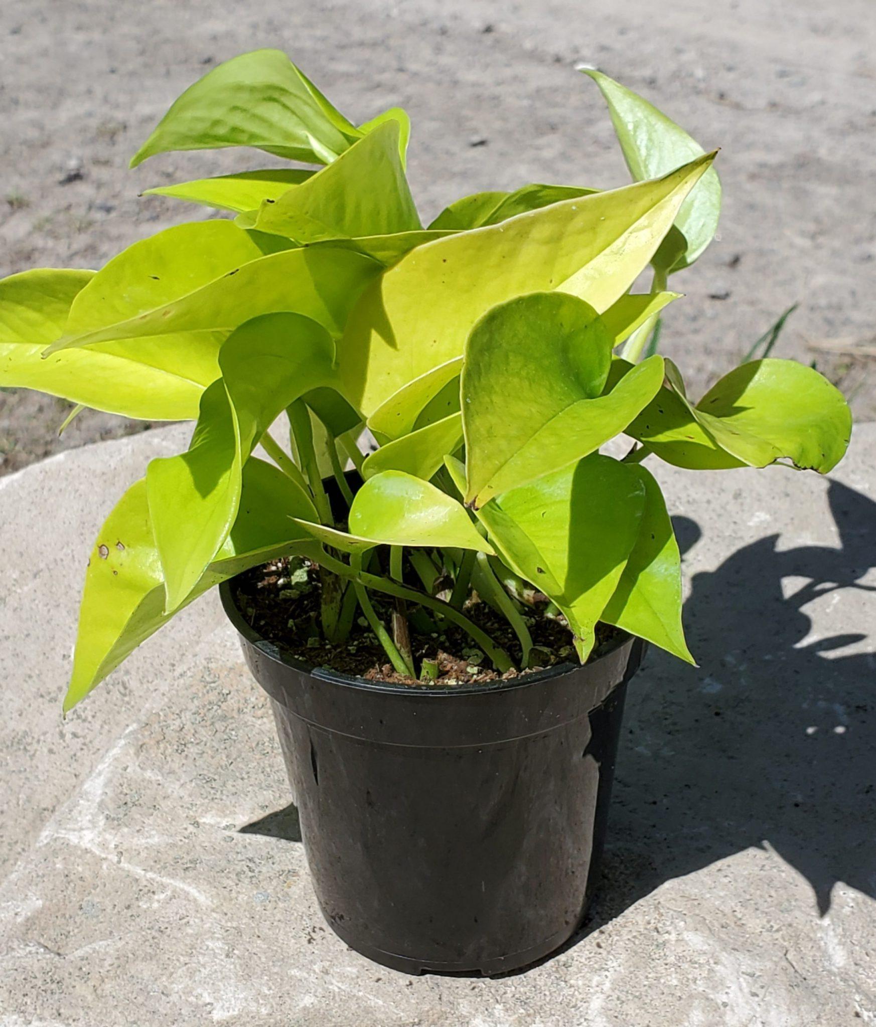 PLANT POTHOS NEON 3.5″ POT LIVE