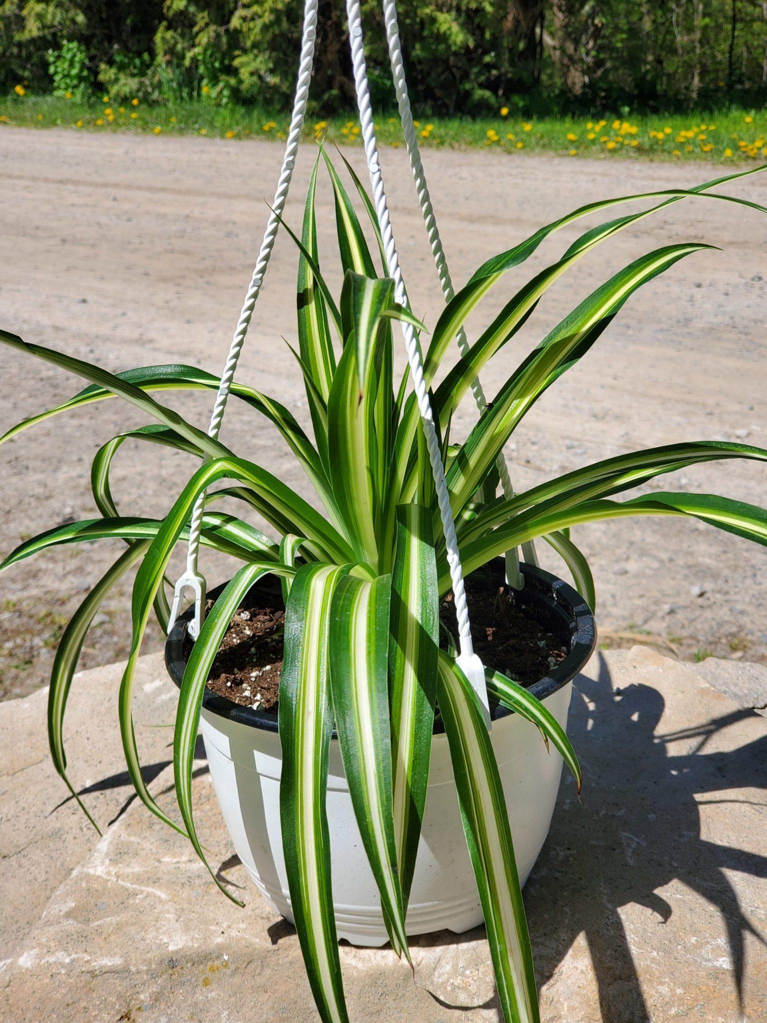 PLANT SPIDER VARIEGATED PLANT 6″ HANGING BASKET LIVE