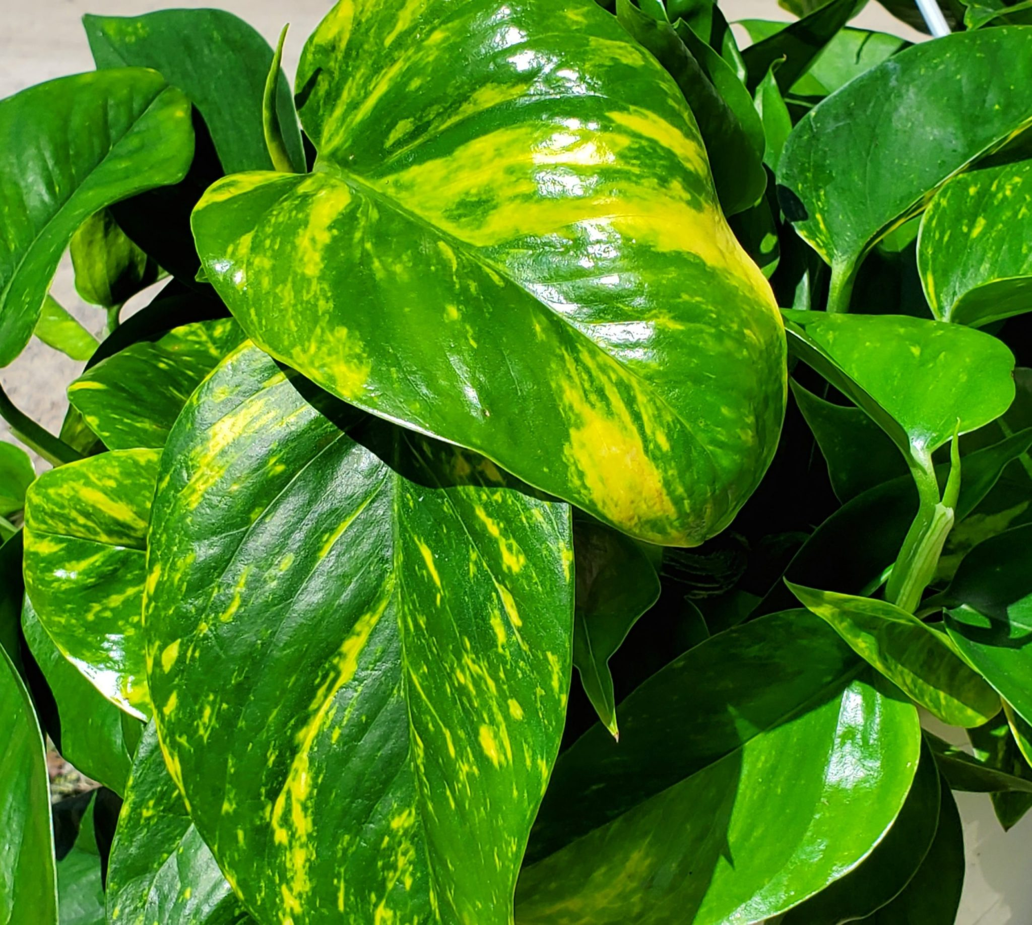 PLANT GOLDEN POTHOS 3.5″ POT LIVE