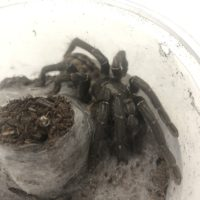 TARANTULA THAI TIGER 3-4″