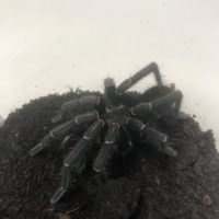 TARANTULA COSTA RICAN ZEBRA STRIPE KNEE MATURE MALE 4-6″ 1.0.0