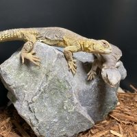 UROMASTYX EGYPTIAN