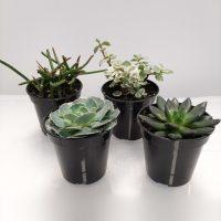 PLANT SUCCULENTS ASSORTED 3.5″