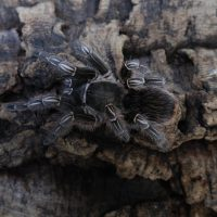 TARANTULA COSTA RICAN ZEBRA STRIPE KNEE FEMALE 4-6″
